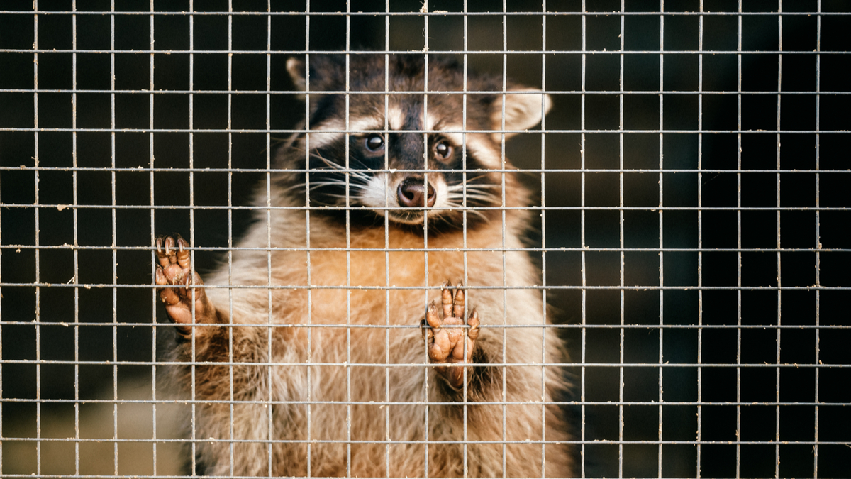 caged-raccoon