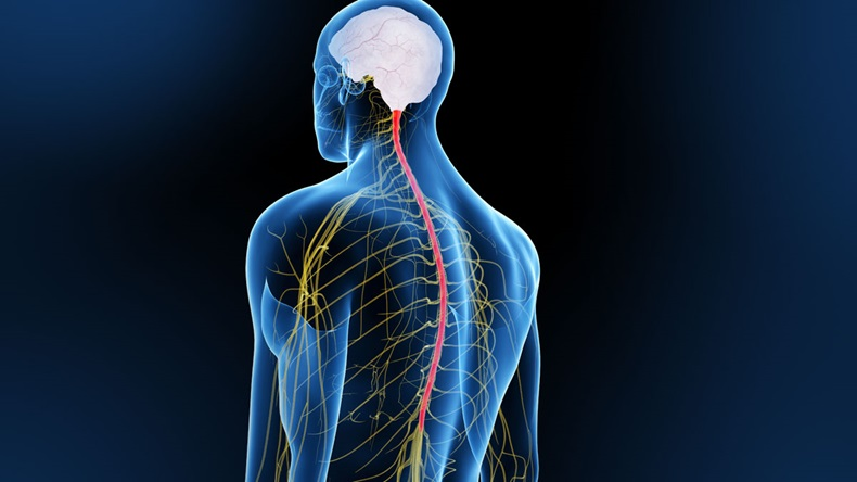 3D spinal cord