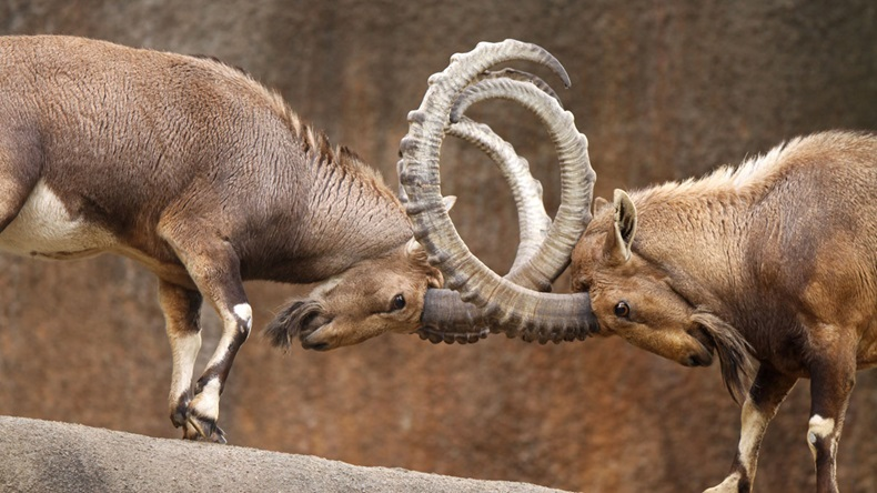 Two wild goats play-fight on the edge of a rock cliff with horns interlocked.